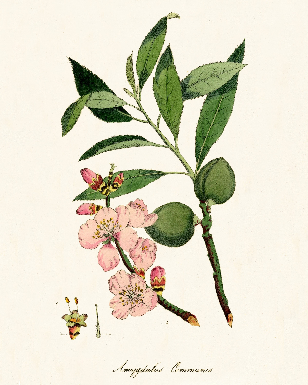 Free Printable Vintage Botanical Art - - Free Printable Vintage Art