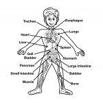Fun Human Body Facts For Kids   Free Printable Human Anatomy Worksheets