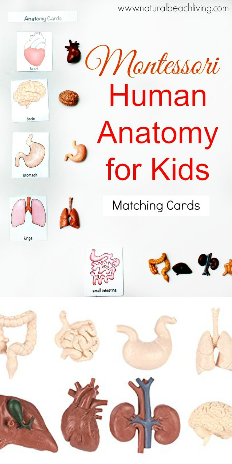Montessori Human Anatomy Activities (Free Printables) - Natural - Free Printable Human Anatomy Worksheets