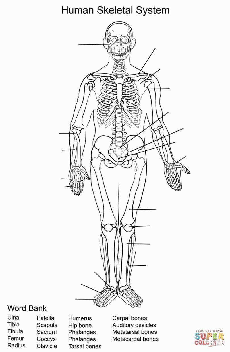 Skeletal System Coloring | Coloring Pages | Skeletal System - Free Printable Human Anatomy Worksheets