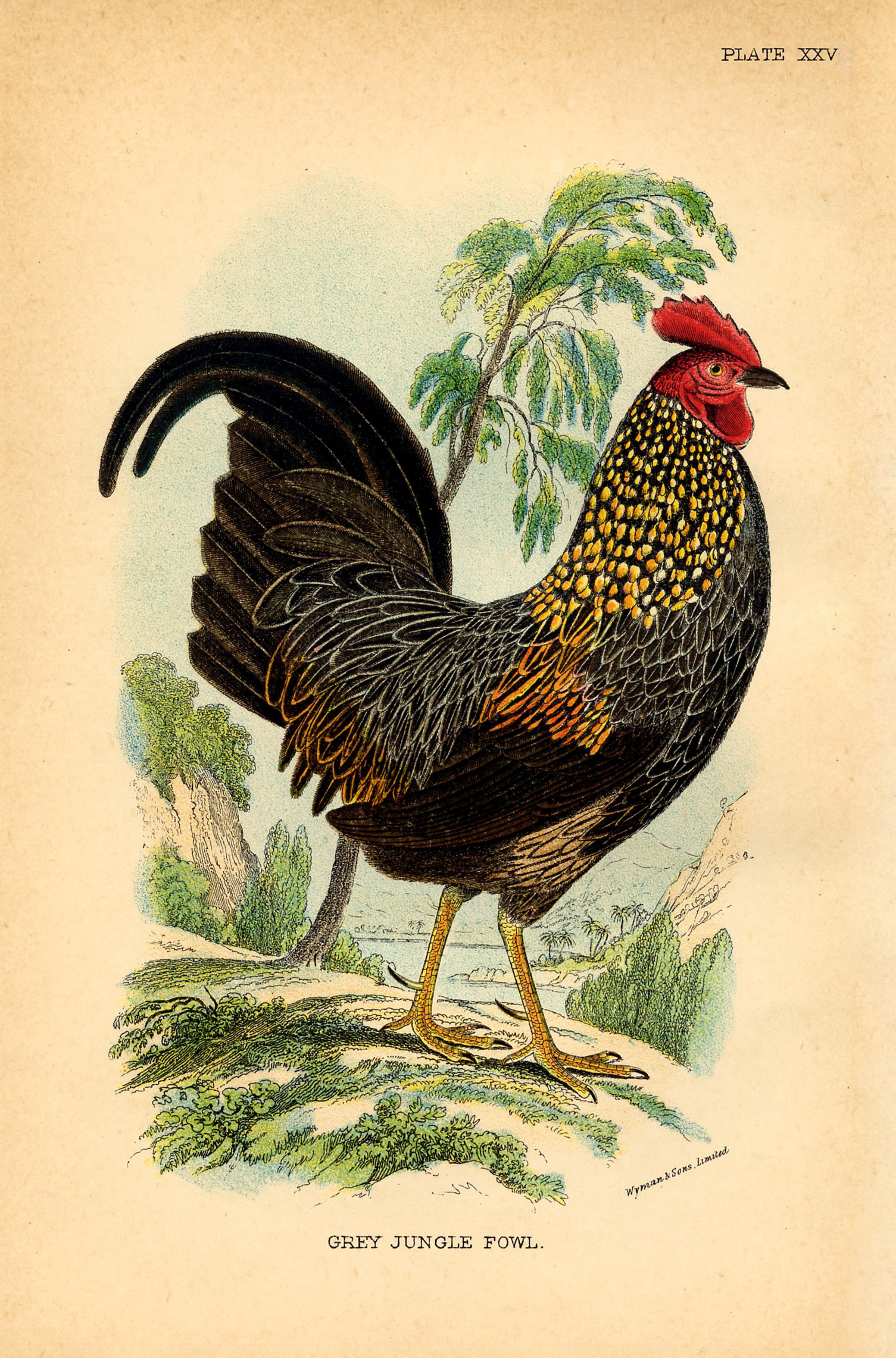 14 Rooster Images! - The Graphics Fairy - Free Printable Pictures Of Roosters