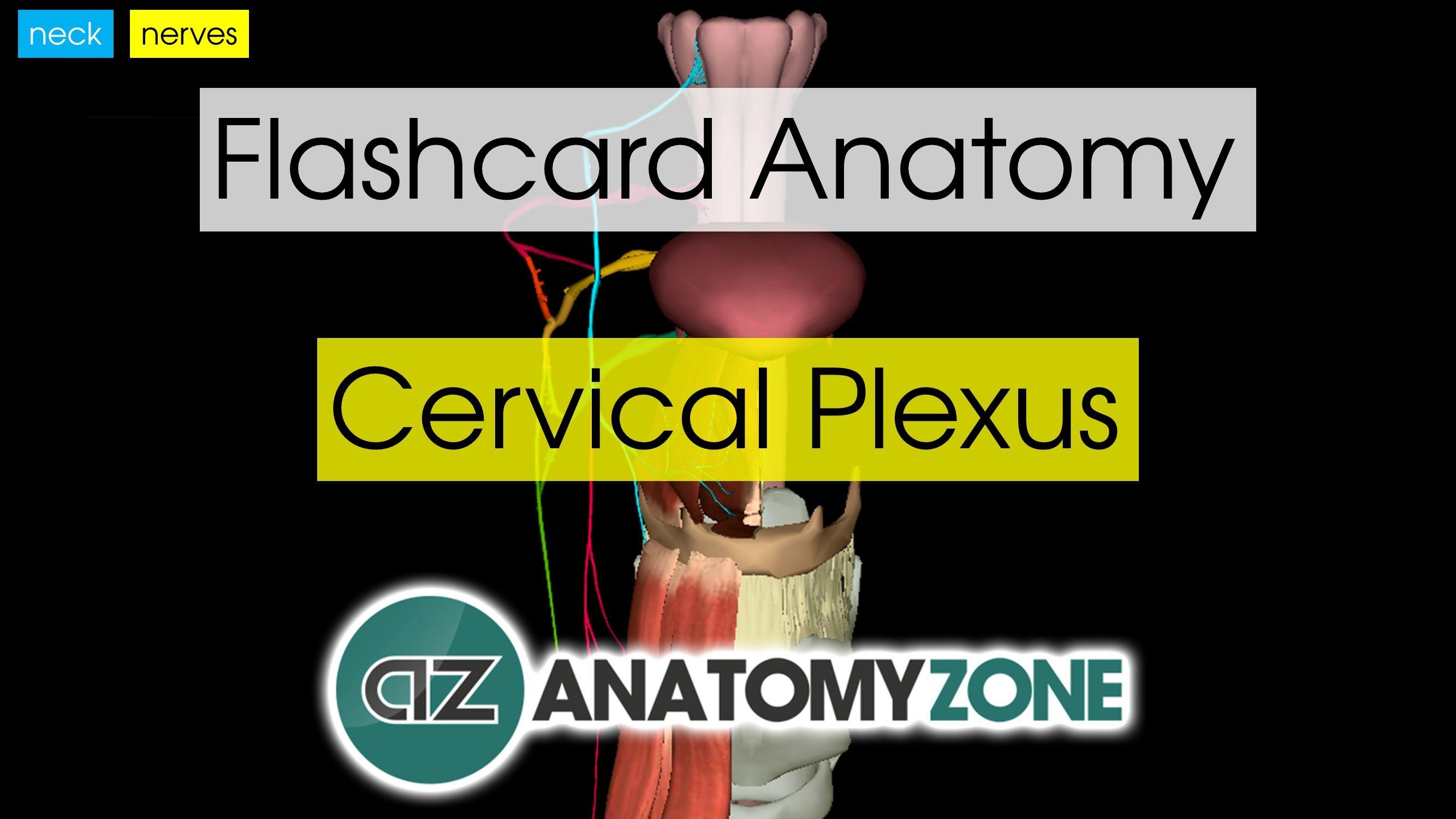 Flashcards • Anatomyzone - Free Printable Muscle Flashcards