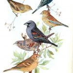 Free Printable   Bird   Indigo Grossbeak | Birds & Cages | Vintage   Free Printable Images Of Birds
