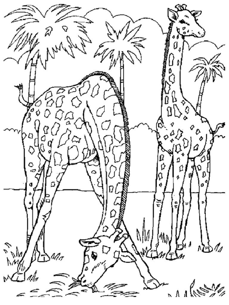 Free Printable Giraffe Coloring Pages For Kids   Coloring   Giraffe - Free Printable Wild Animal Coloring Pages