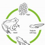 Frog Life Cycle Coloring Page | Coloring Pages | Frog Life   Life Cycle Of A Frog Free Printable Book