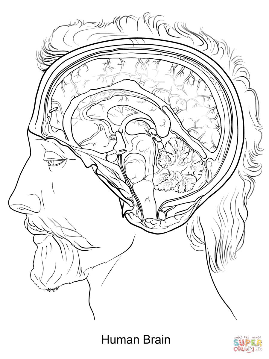 Human Brain Coloring Page | Free Printable Coloring Pages - Free Anatomy Coloring Pages Printable