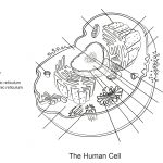 Human Cell Worksheet Coloring Page | Free Printable Coloring Pages   Free Printable Cell Worksheets