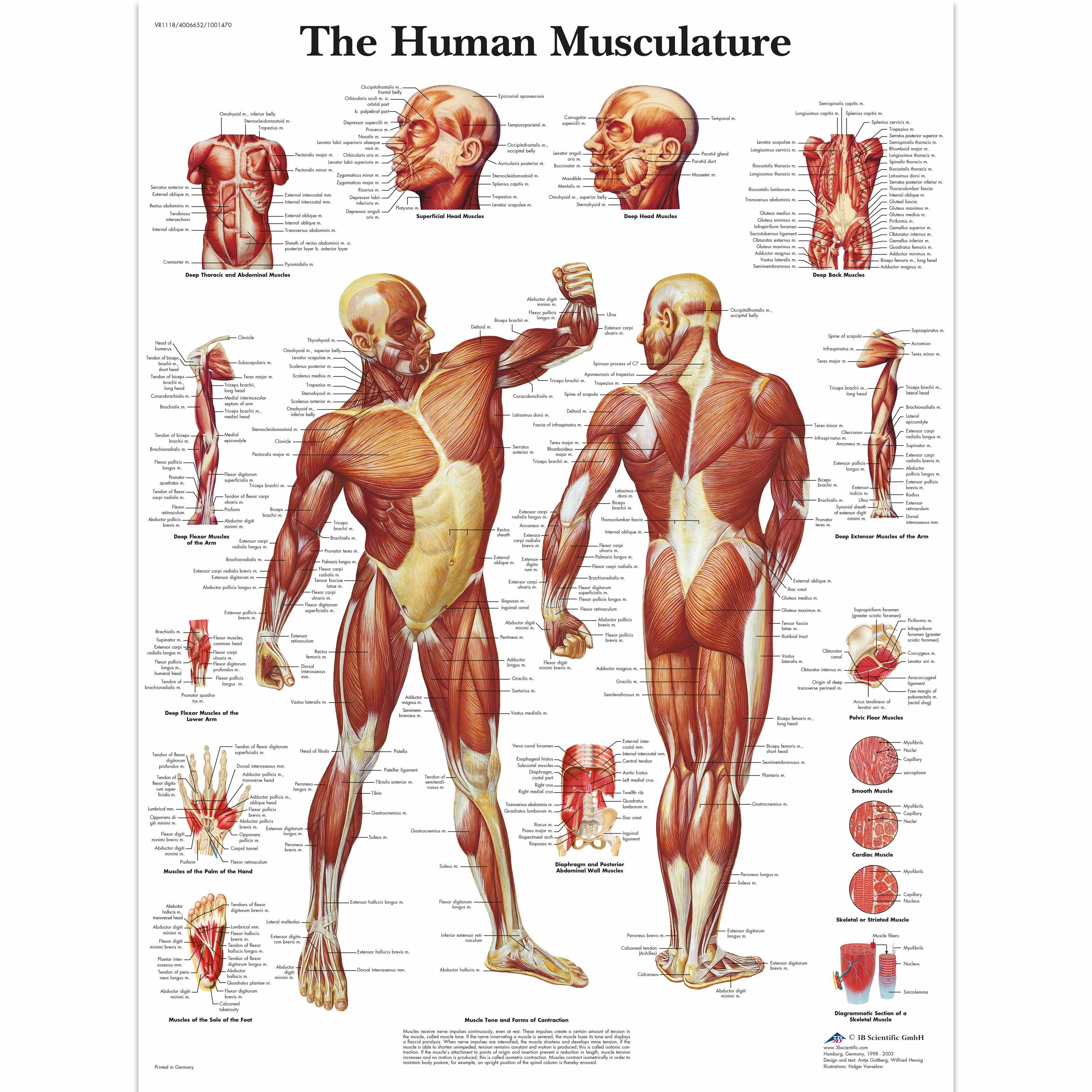 Human Muscle Anatomy . Human Muscle Anatomy Free Printable Human - Free Printable Muscle Flashcards