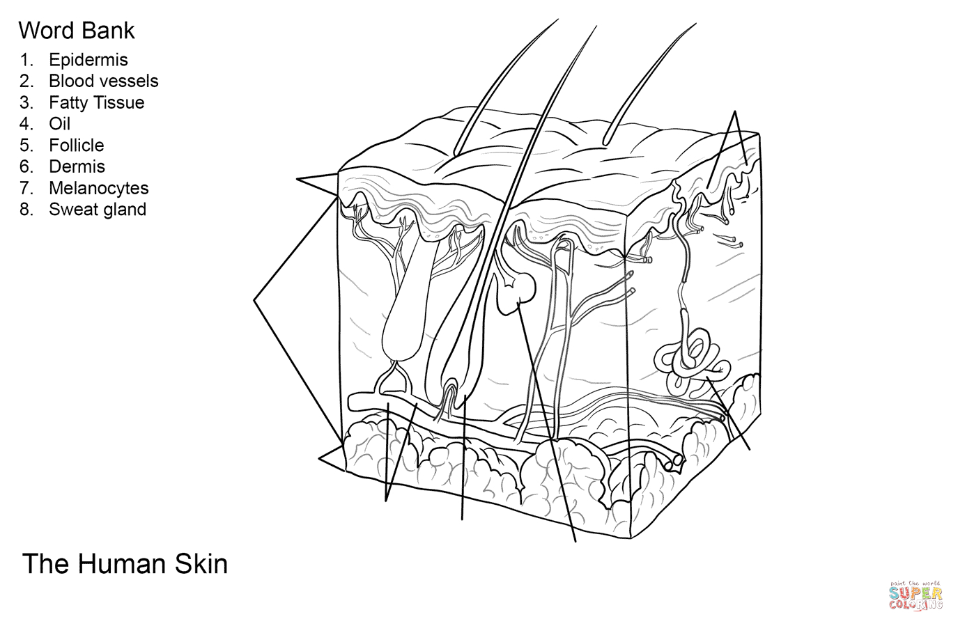 Human Skin Anatomy Worksheet Coloring Page | Free Printable Coloring - Free Printable Anatomy Pictures