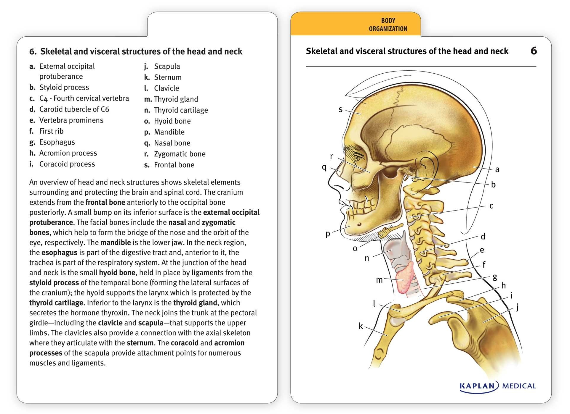 Muscle Anatomy Flash Cards And Introduction To Human Anatomy And - Free Printable Muscle Flashcards