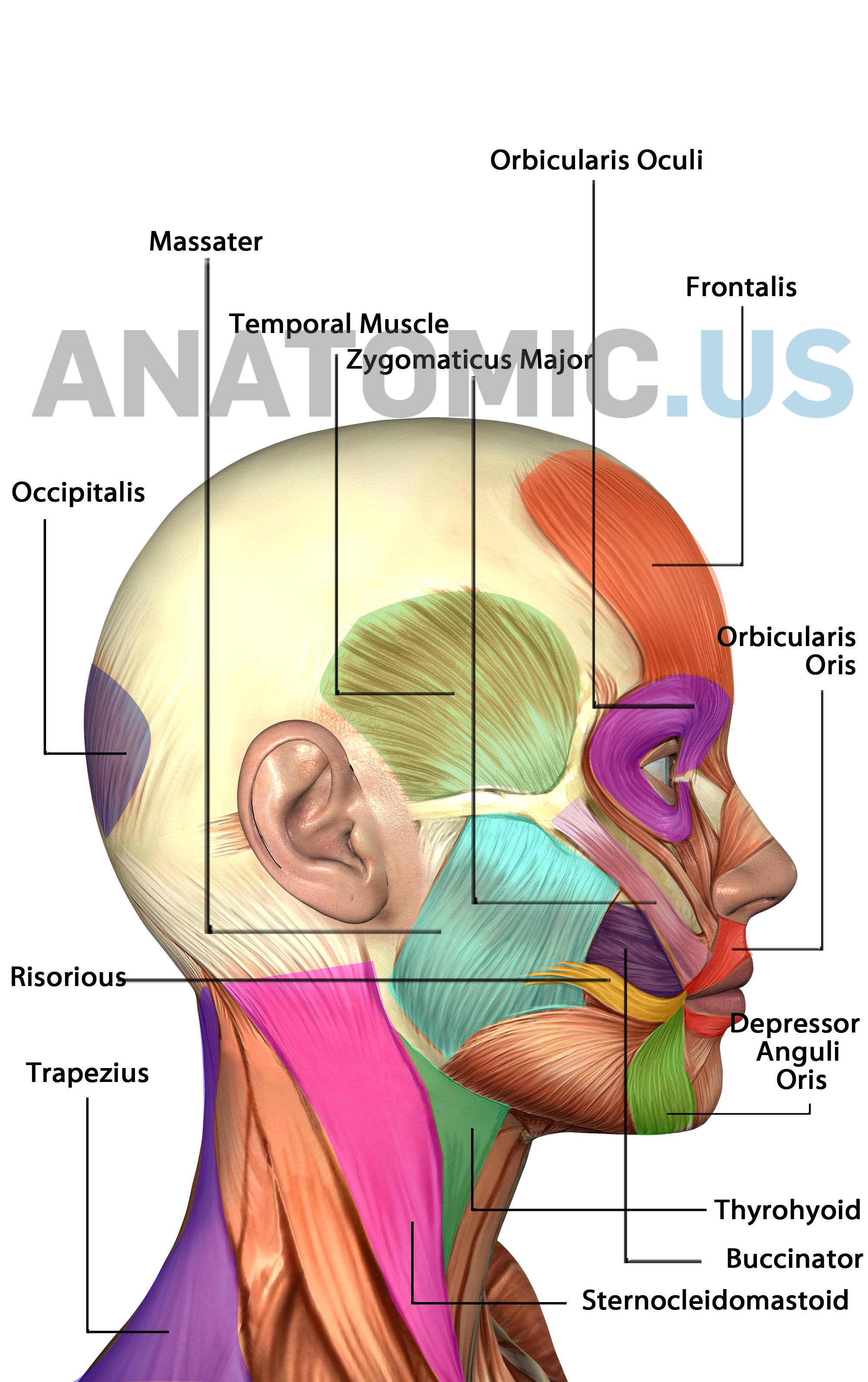Muscle Anatomy Flash Cards And Muscles Of Face - Anatomy Flashcards - Free Printable Muscle Flashcards